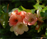 Quince Blossom. - from our garden
