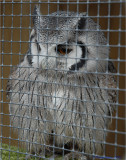 Small Owl.