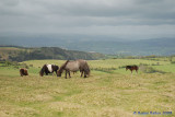 Black Mountain Ponies.