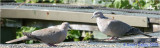 Two Collared  Doves.