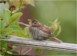 Young Sparrow 2.