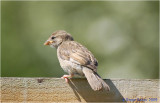 Young Sparrow caught on the fence.