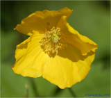 Welsh Poppy.