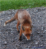 Urban Fox visited the caravan site in the middle of Hemel Hempstead