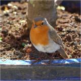 Robin in plant pot.