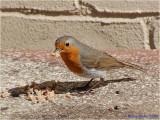 Robin with full beak.