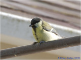 Young Great Tit.