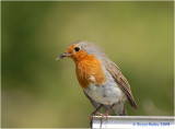 Robin with meal.