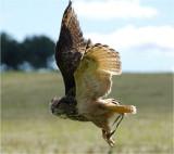 Eagle Owl in flight 2.