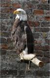 Bald Eagle 2.