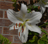 Day Lily - White.