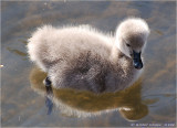Black Swan cygnet.