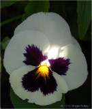 Pansy in a spot of sun.