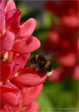 Busy bee on Lupin.
