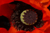 Ornamental Poppy.