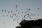 Rooks returning to the Rookery at night.