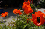 Backlit Poppies.