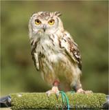 Eagle Owl 2.