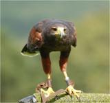 Henry the Harris Hawk.