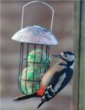 Great-spotted Woodpecker. (female)