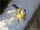 Blue Tit in the snow.