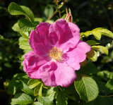 Dog Rose in the hedgerow.