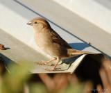 Hedge Sparrow.jpg