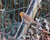 Robin on fence.