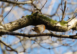 Robin in tree.