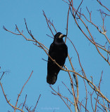 Rook in tree.