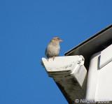House Sparrow - Female.