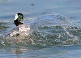 Bufflehead Splash