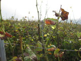 Vendanges Grappe 2012 034.jpg