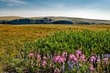 Wildflowers on Beartooth Pass