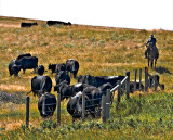 Herding Cows, Western Montana