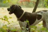German Shorthaired Pointer Rescue Reunion - Fall 2009