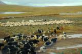 Herds of yaks and sheep alongside the railroad tracks