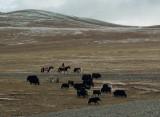Yak herder on the Tibetan plateau