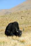 Big black yak
