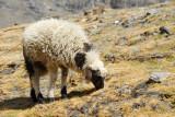 Sheep grazing, Karo-la Pass