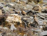 A little brown bird foraging among the rocks