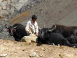 Yaks and nomadic yak herder