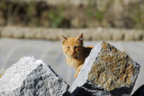 A cat resting in the sun behind a rock, Gyantse