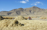 Bringing in the autumn harvest, Gyantse