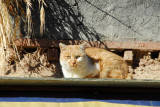 Orange-white cat in Gyantse