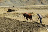 Tibetan farmer plowing the field after harvest