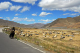 Woman with a basket walking along the road past grazing sheep