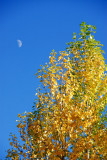 The crecent moon in the blue sky with autumn leaves