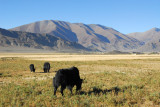 Yaks grazing along the Friendship Highway
