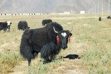 Big black yak with red earrings